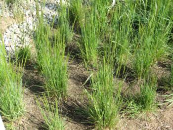 Junegrass in the native grass meadow