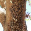 Aggregation seen on Chinese pistache tree, Sept. 2013 (photo by Baldo Villegas).