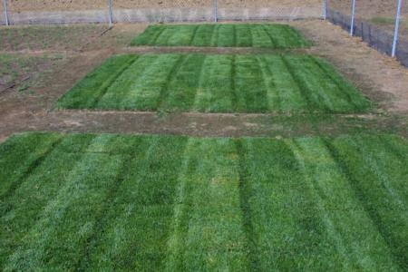 Tall Fescue Environ Horticulture Pears Cherries And