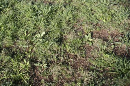 Can you find the buffalograss plugs among the weeds? 12/15/10